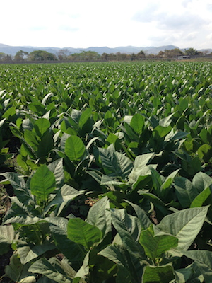 Nicaraguan Cigar Tobacco Field